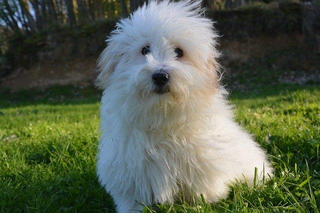 Razze di cani: Coton de Tuléar, carattere e caratteristiche