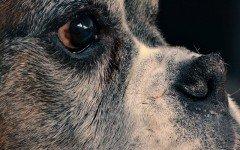 Cómo alimentar a un perro sin dientes