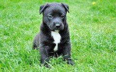incontinenza urinaria nel cane giovane