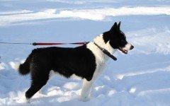 Razze cani: il cane da Orso della Carelia, origini e carattere