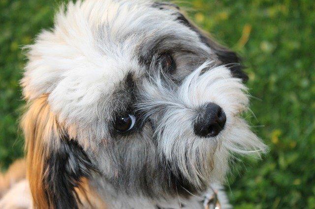 La celiachia nel cane: gli effetti di un'alimentazione sbagliata