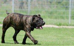 Razze cani: il Dogo Canario, carattere e caratteristiche