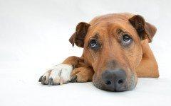 Cómo alimentar a un perro que no quiere comer: consejos