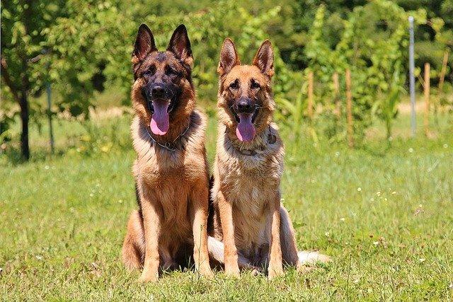 Nombre científico del Perro: Canis lupus familiaris