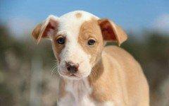 Podenco Cachorro: caracteristica y personalidad