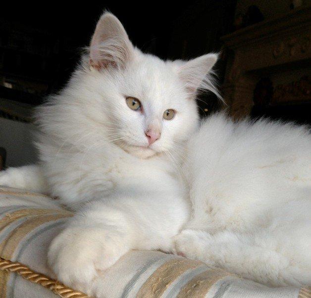 Prezzo gatto norvegese razze gatti gatto norvegese bianco for Gatto della foresta norvegese