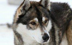 Labirintite nel cane: caratteristiche e cause della malattia