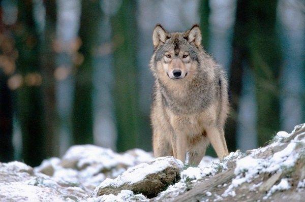 El lobo Gris: caracteristicas fisica y evolucion