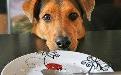 Perro pidiendo comida: qué hago para corregir a mi perro