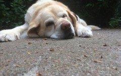 panosteite eosinofilica del cane giovane