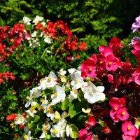 Begonia pianta con molti benefici per gli animali dogalize for Begonia pianta