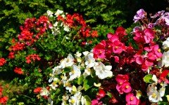 Begonia: pianta con molti benefici per gli animali