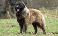 Razze cani: il cane da Pastore di Karst, caratteristiche