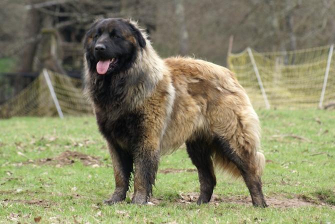 Razze Cani Il Cane Da Pastore Di Karst Caratteristiche Dogalize