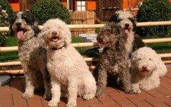 Enfermedades de los perros de agua: la precaución es tarea