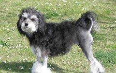 Razze cani: Piccolo cane leone, carattere e caratteristiche