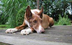 Razze di cani: il cane dei Faraoni, carattere e caratteristiche