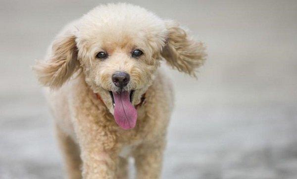 Caniche: los talentosos perros caniches