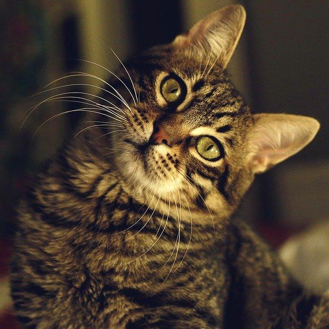 Vita media di un gatto soriano: calore e alimentazione