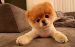 Boo the Dog - The World's Cutest Dog with over 17 million fans