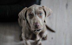 Síndrome vestibular perros: conoce este padecimiento canino