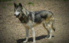 Cani ibridi nati da accoppiamenti proibiti: una pratica illegale