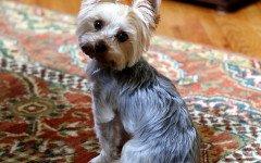 intossicazione da cioccolato nel cane