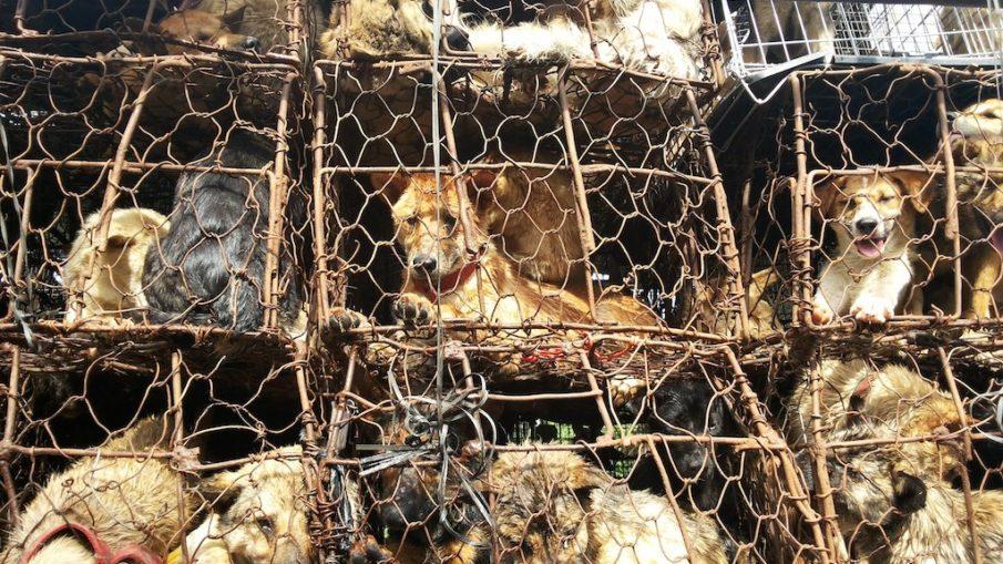 Il Festival di Yulin: il festival della carne di cane - Intervento di attivisti e di Action Project Animal
