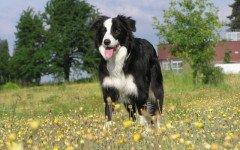 La raza de perro más inteligente del mundo: Top 3