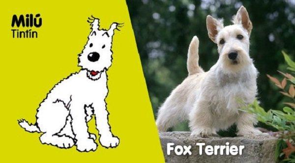 Raza del perro de Tintín: adorable peludo