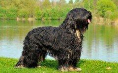 Razze cani: il Cane da Pastore della Serra di Aires
