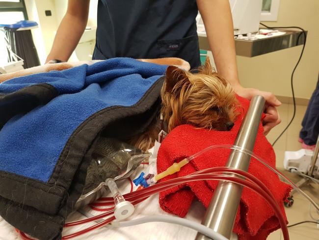 L' emodialisi negli animali: indicazioni, durata e prognosi
