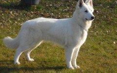 Razze cani: il cane Hokkaido, carattere e caratteristiche