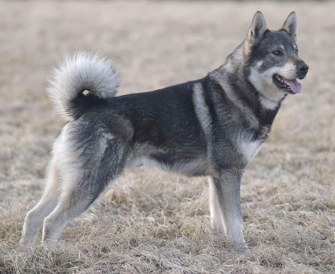 Razze cani: il cane Jamthund, carattere e caratteristiche