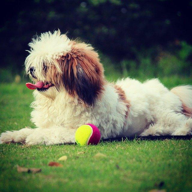 Razze cani: il cane Lhasa Apso, carattere e caratteristiche