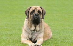 Cuál es la raza de perro más grande del mundo: interesante