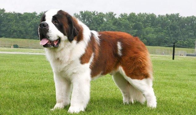La mejor raza de perro del mundo: conócela