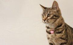 Gatto del bengala adulto, caratteristiche e prezzo