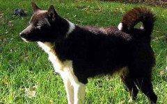 Razze cani: il cane da Renne della Lapponia