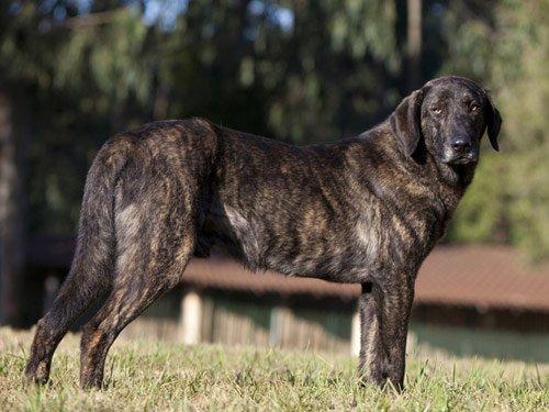 Razze cani: Il cane di Castro Laboreiro, caratteristiche