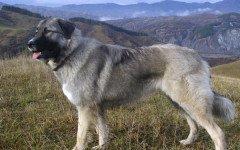 Razze cani: il cane da pastore rumeno dei Carpazi