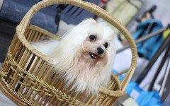Razze cani: il cane Shih Tzu, carattere e caratteristiche