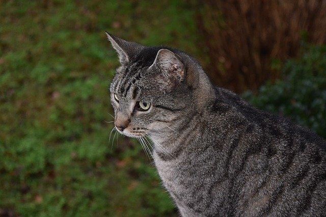 gatto soriano tigrato