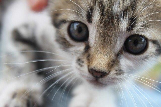 cucciolo di gatto soriano