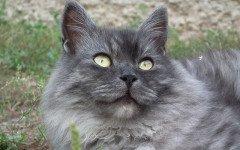 gatto siberiano adulto