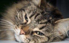 alimentazione del gatto anemico