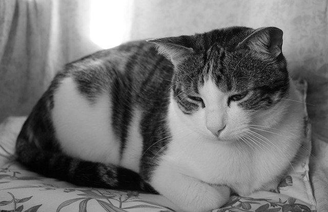 Epilessia nel gatto: cause, sintomi e terapia
