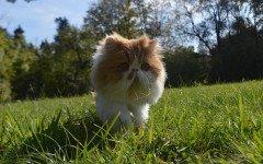 Gatto persiano cucciolo, ideale da tenere in casa