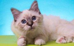 cuccioli di gatto sacro di birmania