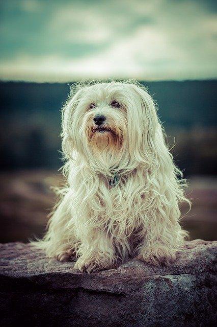 Razze cani: il cane Havanese, carattere e caratteristiche